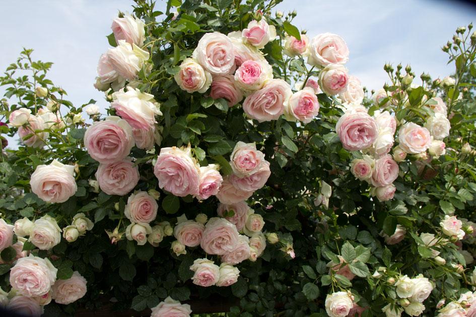 Eventi iniziative garden 2013 le foto di primo zambrini - Giardino con rose ...